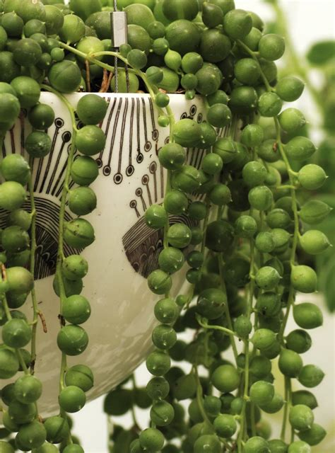 string plants how to grow and care for the string of pearls plant