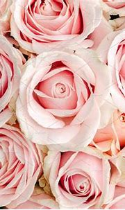 Pink roses background   High-Quality Nature Stock Photos ...