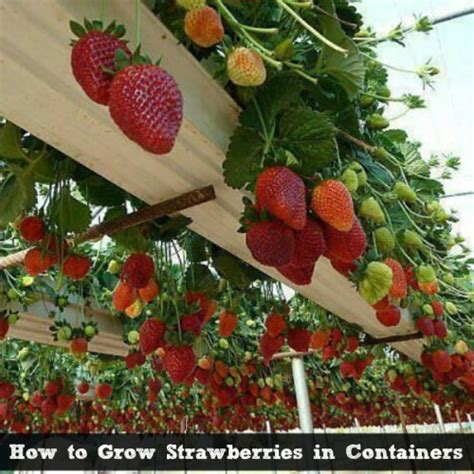 how to grow strawberries food plants that grow easily in containers guide to vietnamese herbs folia folia