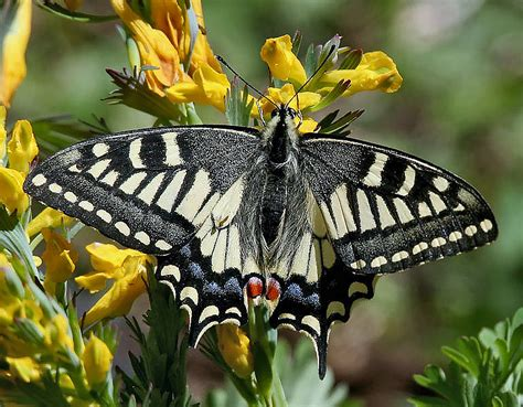 world swallowtail butterfly identification facts