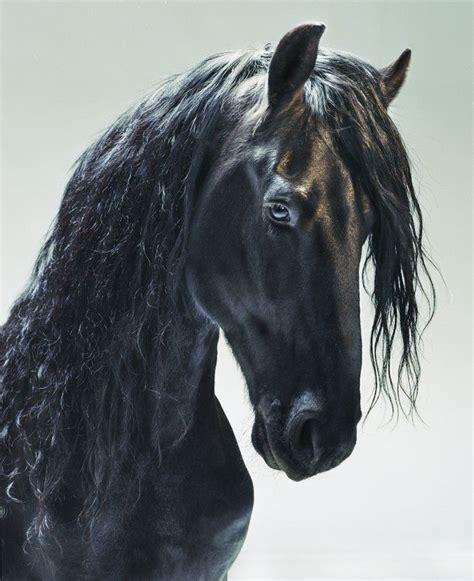 Beautiful Friesian Horse