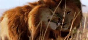 Tibetan Lion GIFs - Find & Share on GIPHY