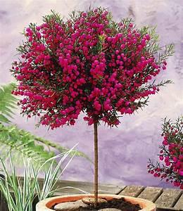 korallenraute stammchen pflanzen pinterest terrasses With nice idee amenagement exterieur entree maison 7 plante exterieur en pot en 35 idees deco