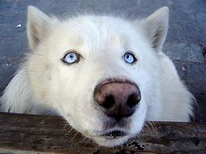 wolf dogs | Howling For Justice
