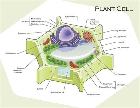 Plant Cell Diagram  Printable Diagram