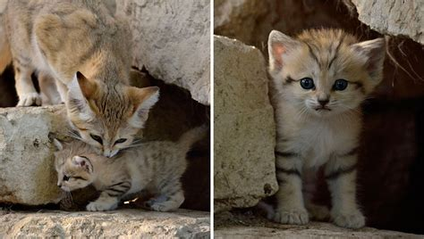 Sand Cats Where The Adults Are Kittens And The Kittens