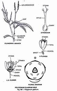 Polygonaceae  Characters  Distribution And Types