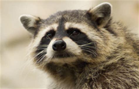 raccoon intelligence   borderlands  science