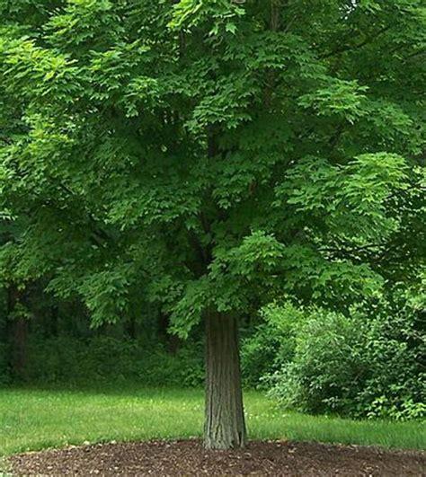 maples tree west virginia state tree sugar maple