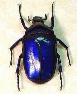 Sapphire Jewel Beetle Torynorrhina Flammea violets ...