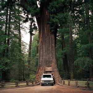Chandelier Tree Redwoods California
