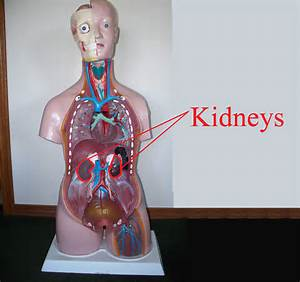 Where Are The Kidneys Located