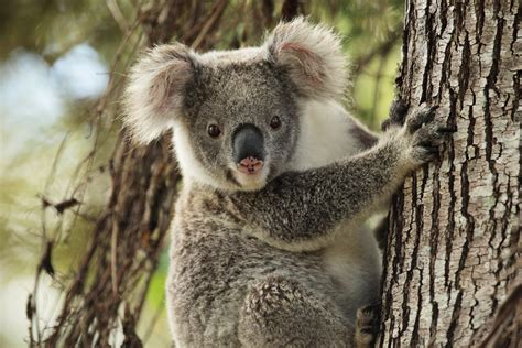 New 'koalaboration' Aims To Save Koalas From Extinction