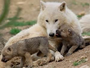 Bébé Loup Blanc : tr s belle louve blanche et ses petits le r gne ~ Farleysfitness.com Idées de Décoration