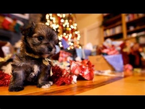 puppy christmas cute puppies destroying gifts decorations