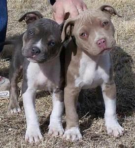 Red Nose Pitbull vs Blue Nose Pitbull   Pitbull Puppies