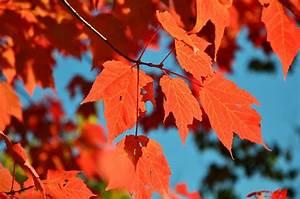 Ahorn Rote Blätter : kostenloses foto herbst bl tter rote bl tter kostenloses bild auf pixabay 1006880 ~ Eleganceandgraceweddings.com Haus und Dekorationen