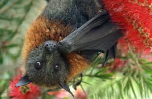 Image result for fruit bats