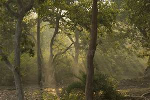 Trees , Forest And Divine Sun Rays Stock Image - Image ...
