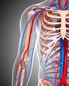 Human Circulatory System Diagram