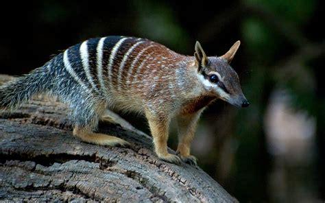 numbat fasciatus australia dinoanimals animals marsupial pouch mammals marsupials
