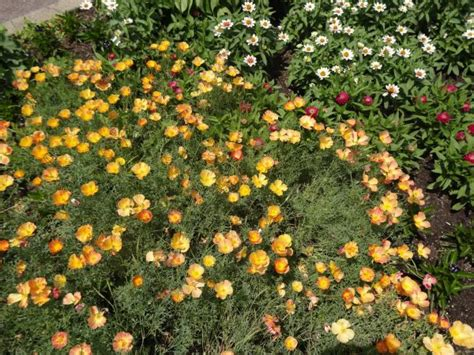 best plants for poor soil eschscholzia californica apricot chiffon drought tolerant and poor soil ready plant