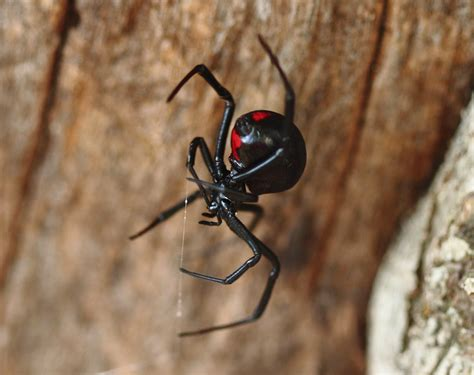 Side Effects Of A Black Widow Spider Bite Healthfully