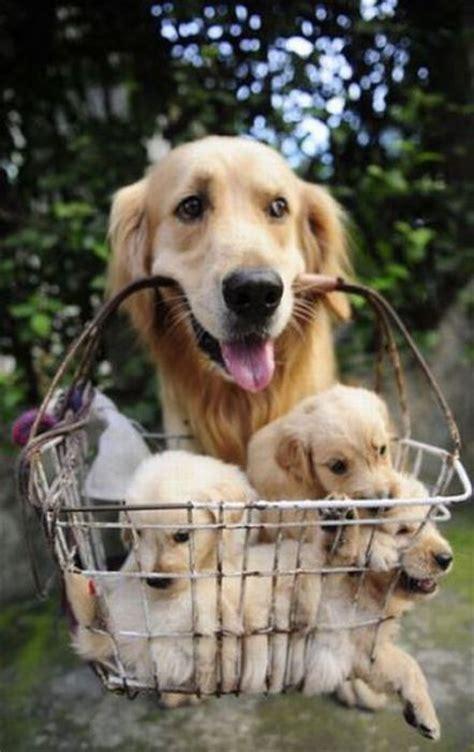 basket  puppies funnycom