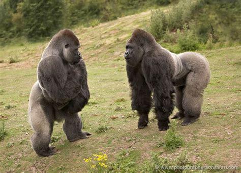 kent gorillas  port lympne wild animal park