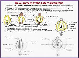 Urinary System  18 Development Of Female External