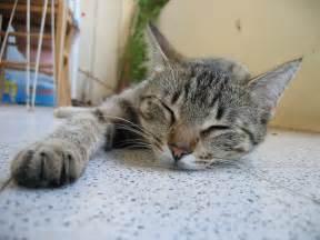 sleeping cat file sleeping cat jpg