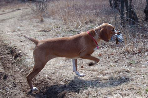 Hypoallergenic Non Shedding Dog Breeds by Portuguese Pointer