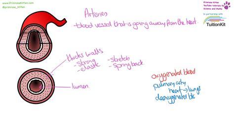 blood vessel structure  function artery vein
