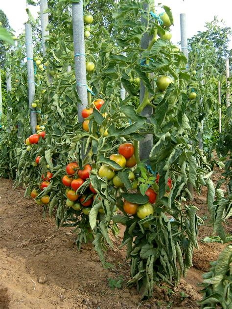 comment planter des tomates en pot comment planter tomates