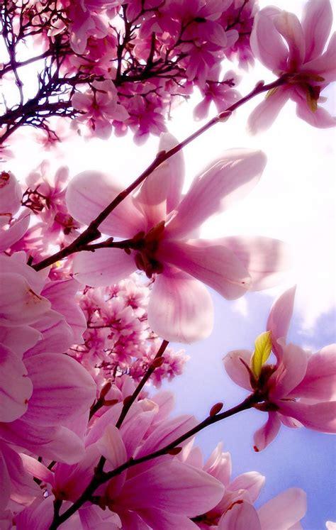 Mgnolia UNA HERMOSA MAGNOLIA Beautiful flowers Pretty