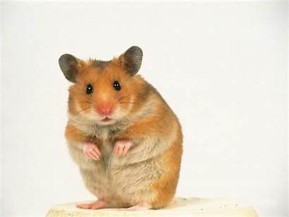 Hamster Shared Santa Memo Tears Had Brown