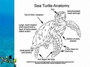 Sea Turtle Venn Diagram