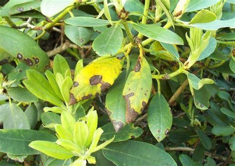 rhododendron braune flecken rhododendron krankheiten gelbe bl 228 tter vertrocknete