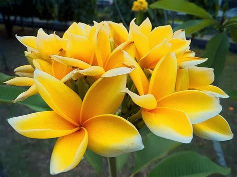koleksi tanaman hias aneka warna bunga kamboja