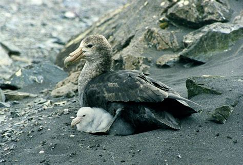 Southern Images Southern Petrel
