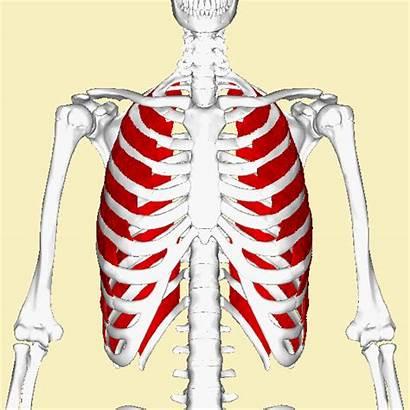 Intercostal Muscles External Muscoli Intercostali Esterni Animation