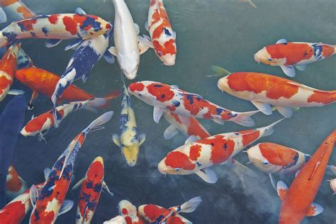 koi fish color meaning what do koi fish symbolize lovetoknow