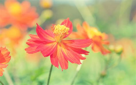 Cosmos Autumn Flower Wallpapers Wallpapers Hd