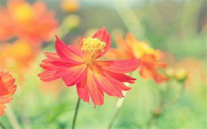 Flower Cosmos Autumn Wallpapers