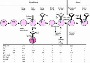 B Cell Differentiation And Maturation Scheme