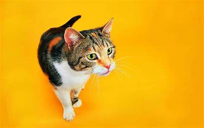 Cat Funny Cats Wallpapers Aspca Background Orange
