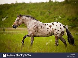 POA, Pony of the Americas, red roan horse colour with ...
