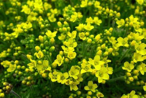 piante da fiore perenni resistenti al gelo piante resistenti al freddo pollicegreen