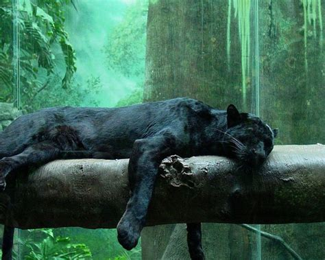 Panther Animal Wallpaper - black panther hd wallpapers picvenue hd