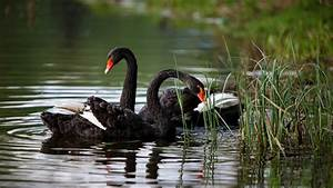 Black Swan Bird - wallpaper.